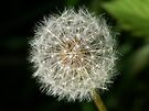 A dandelion clock ready to release it's seeds. by William Brennan