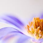 Anemone by juliegrath