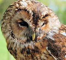 Strix aluco -Tawny Owl by Lindamell