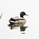 Male Mallard  by swaby