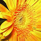Gold & Beautiful Gerbera by EdsMum