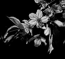 Cherry Blossom (Black and White) by Karen  Betts