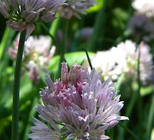 Chives by Jaclyn Hughes