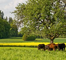 Swiss cows by Mario Curcio
