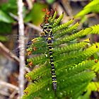 golden ringed dragonfly resting up by Grandalf
