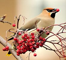 Waxwing      I'd like to present you with this berry! by Grandalf
