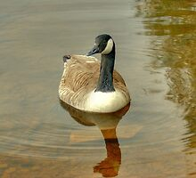 Canada Goose by VoluntaryRanger