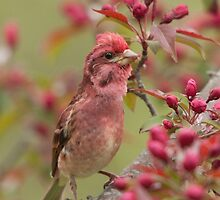 Colour Coordination - Male Purple Finch - Quispamsis, New Brunswick by Stephen Stephen