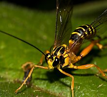 Ichneumon wasp by Shelley Warbrooke