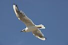 Seagull in flight by buttonpresser