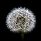 Dandelion by ChromaticTouch
