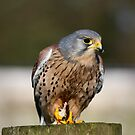 Kestrel by ChromaticTouch