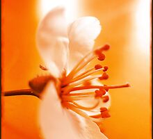 Gentle orange (wild cherry blossom) by Olga