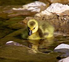 Gosling by withacanon