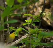 Common Yellowthroat by Daniel Borden