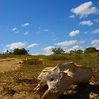Rhino/elephant skull, South Africa by SweetLemon