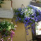 Hanging basket of lobelia  by joycee