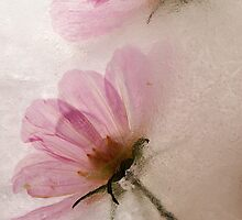 Frozen Pink Cosmos by Barb Leopold