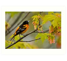 Northern Oriole looking for supper - Ottawa, Ontario Art Print