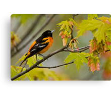 Northern Oriole looking for supper - Ottawa, Ontario Canvas Print