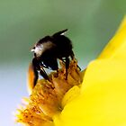 Bumblebee Exploring a Yellow Flower by Jay Gross