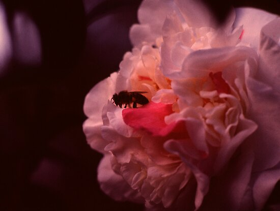 Bumblebee Exploring Pink Blossoms by Jay Gross