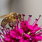 Bee on Hebe Flower by Chris Cobern