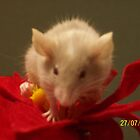 christmas mouse 3 by Maddison Gangi