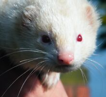 Pet Ferret by TREVOR34