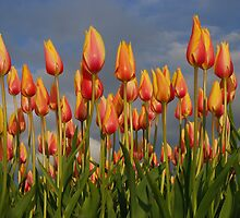 Tulips in the sky by roumen
