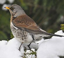 Fieldfare a stranger in the garden by Grandalf