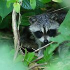 Surprise! Baby Racoon appears..... by Ruth Lambert