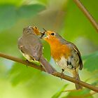 Robin Feeding by Sue Earnshaw