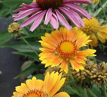 Coneflower and Indian Blankets by May Lattanzio