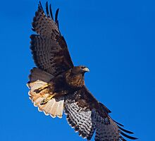 Dark Morph Red Tailed Hawk by Marvin Collins