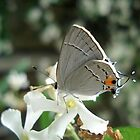 Gray Hairstreak on Jasmine by May Lattanzio