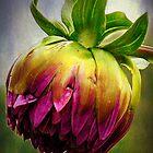 dahlia bud by Lenore Locken