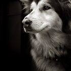 Beautiful Husky by Kaeldra