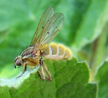 Fruit Fly by sarnia2
