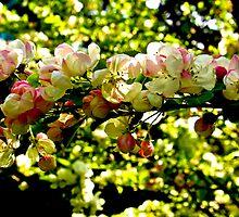 Crabapple Blossom #1 by Trevor Kersley