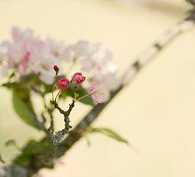 Ornamental Cherry by Jayne Le Mee