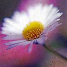 Daisy on Pink by Lucy Martin