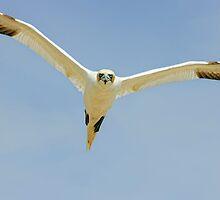 that's MY landing space! Gannet, Saltee Island, County Wexford, Ireland by Andrew Jones
