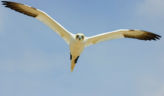 that's MY landing space! Gannet, Saltee Island, County Wexford, Ireland by Andrew Jones