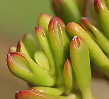 "Crassula ovata ""Hobbit"" by Etwin"