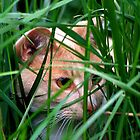 Crouching Tiger Hidden... Kitten? by jennimarshall