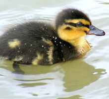Mallard chick by Livvy Young