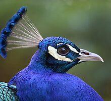 Peacock 1464 by João Castro