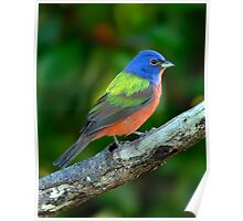 Painted Bunting Poster