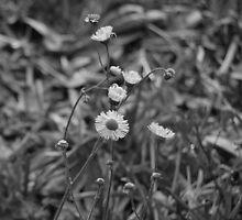 delicate petals by Amanda Huggins